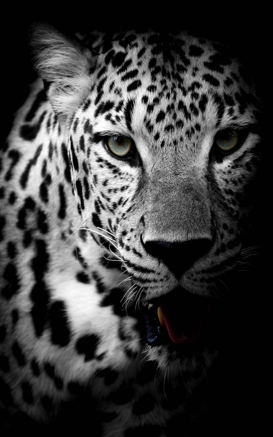 Leopard Black & White Free 4K Ultra HD Mobile Wallpaper in