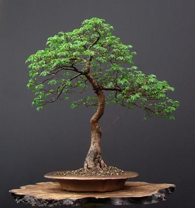 bonsai this is beautiful eureka bonsai bonsai baum. Black Bedroom Furniture Sets. Home Design Ideas