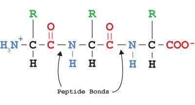 Peptide bonds link amino acids to form polypeptides which make up peptide bonds link amino acids to form polypeptides which make up proteins fandeluxe Images
