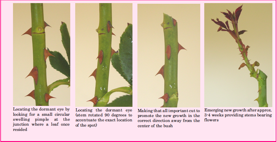 American Rose Society Knockout Roses How To Trim Roses Trim Rose Bushes