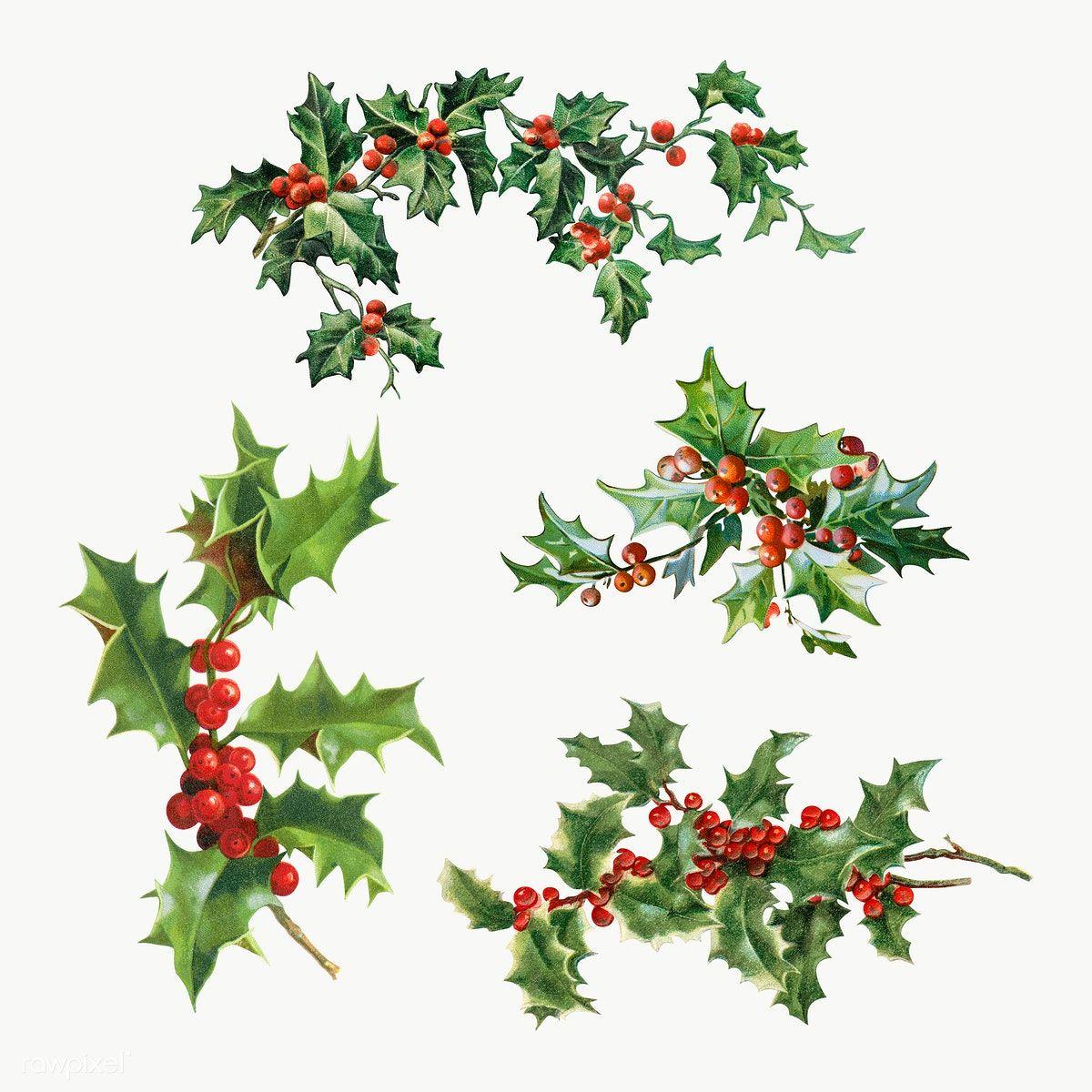 Download Premium Png Of Festive Holly Leaves Set Transparent Png 1232744 Desain