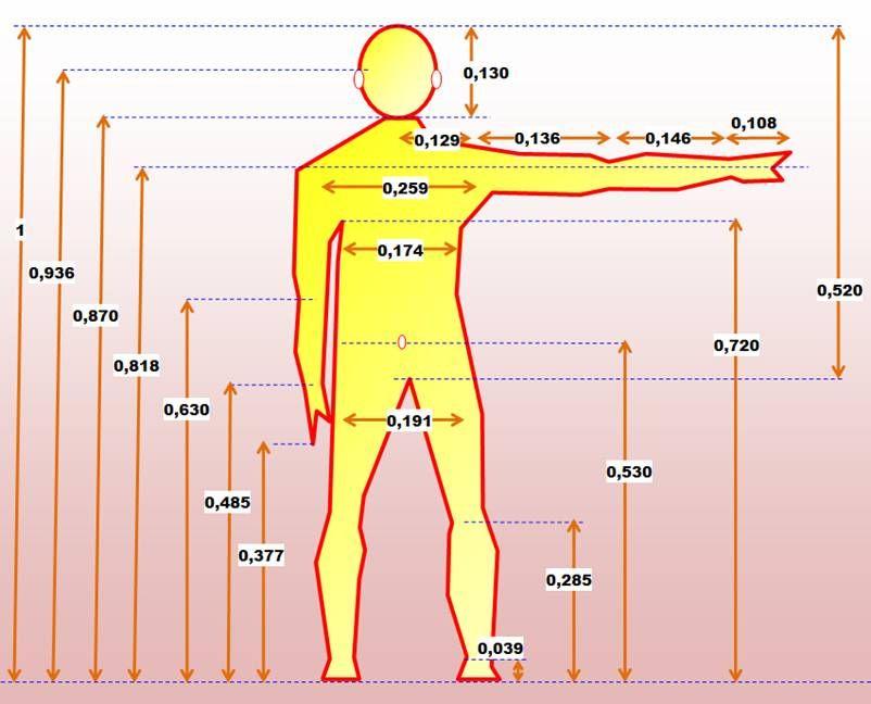 Proportion du corps humain DECOUVERTES, CURIOSITES, THEORIES