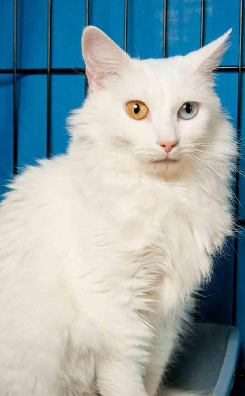 Adopt Snow White On Petfinder Long Haired Cats White Cat Washington Grove