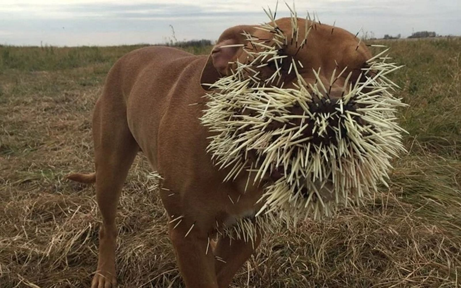 1f4a7539b01353b5ab867c33efffd424 - How To Get Porcupine Quills Out Of A Dog