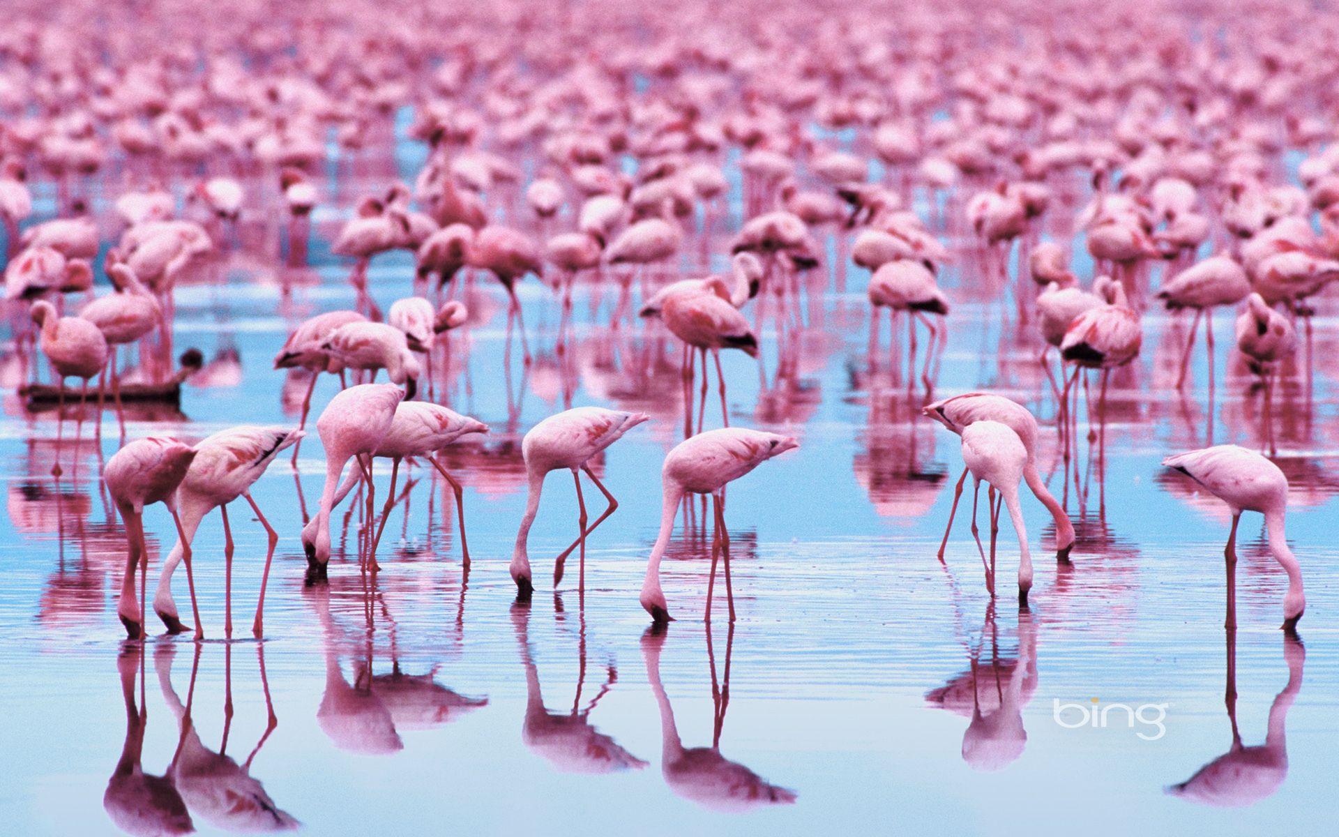 Download wallpaper animals, Birds, flamingo free desktop