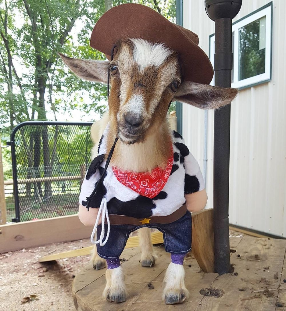 Goatvet Likes That An Instagram Account Goats Of Anarchy Of A - Rescue goat suffers anxiety calms duck costume