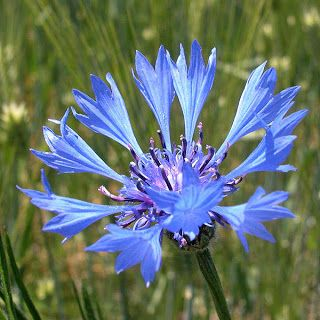 Flowers Around The World The National Flower Every Country G Flowers Planting Flowers Wild Flowers