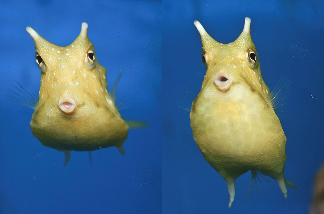 The Longhorn Cowfish Lactoria Cornuta Is A Variety Of Boxfish From The Family Ostraciidae Recognizable By Its Long H Fish Pet Home Aquarium Underwater World