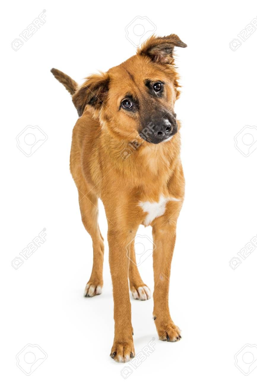Cute Brown Medium Size Dog Standing On White Background Looking Forward Tilting Head Aff Size Dog In 2020 Dog Stock Images Best Small Dog Breeds Best Small Dogs