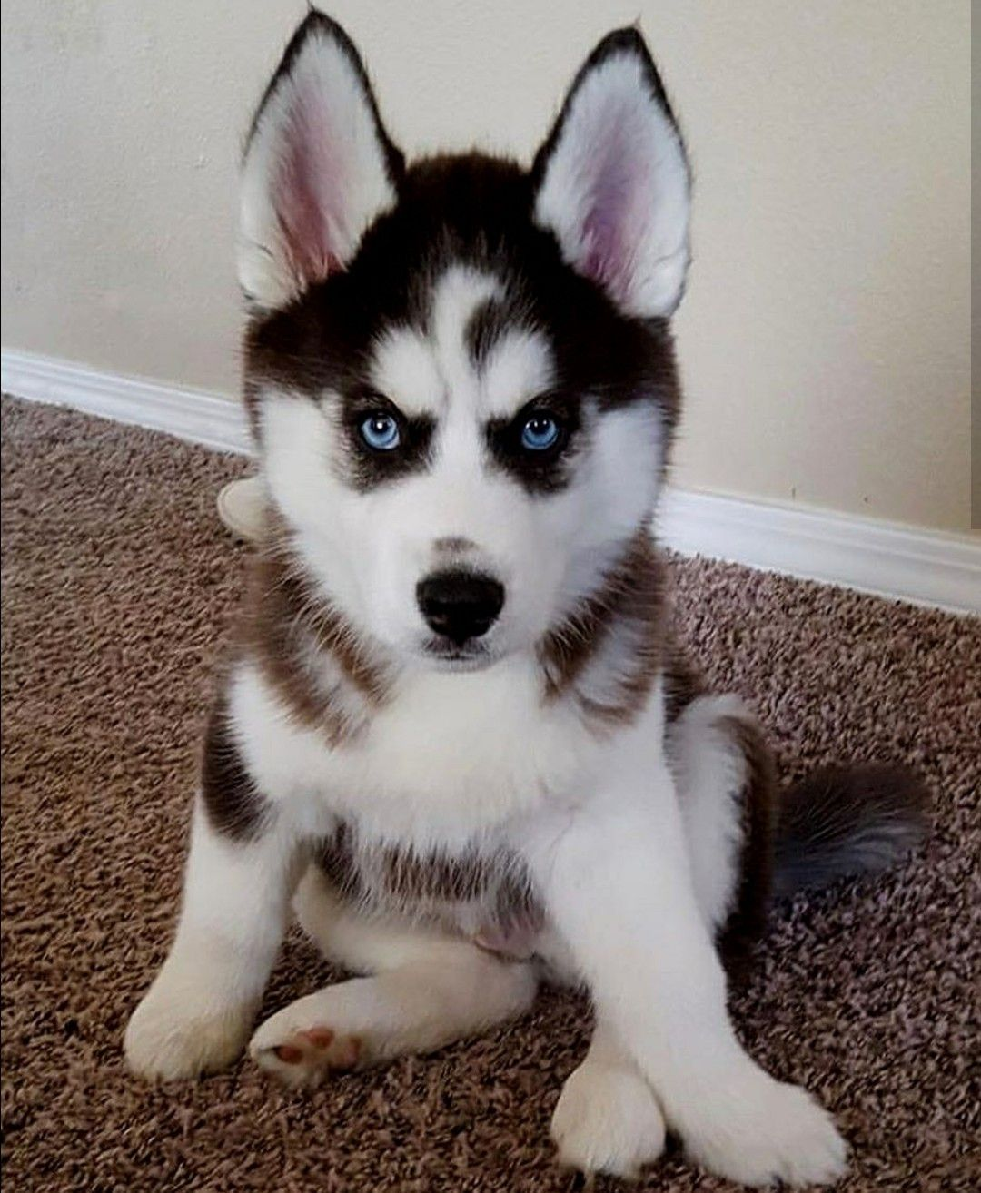 Looks Like A Little Swan On Its Face Cute Husky Puppies