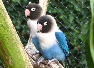 Download Suara Lovebird Ngekek Panjang Juara Mp3 Untuk Masteran Suaraburung Xyz Oiseaux Inseparable Images