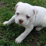 American Bulldog wallpapers hd