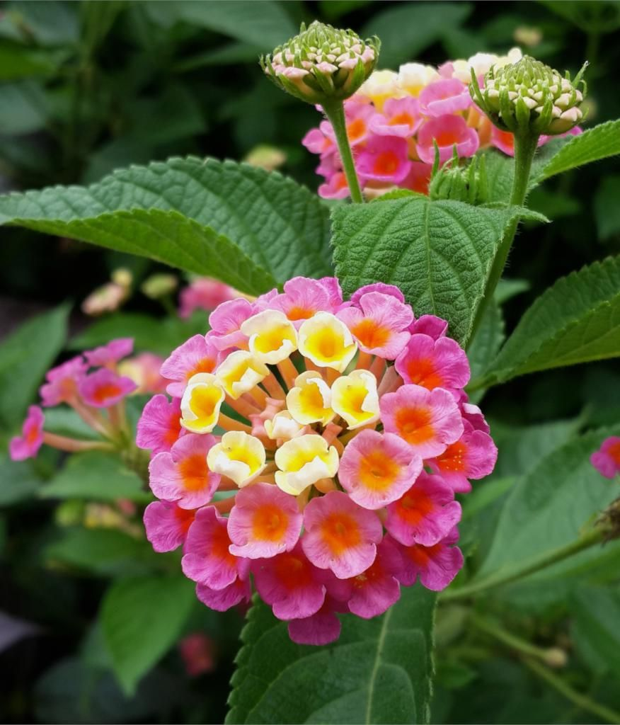 Lantana Camara Is A Perennial That Is Simply Beautiful It Will Decorate Your Garden Boxes Flower Arrangements And Flower In 2020 Lantana Flower Lantana Lantana Plant