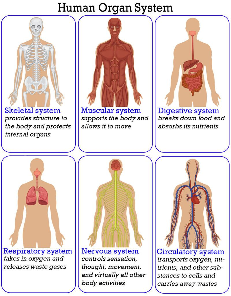 An Overview Of The Organ Systems That Make Up The Human Body For