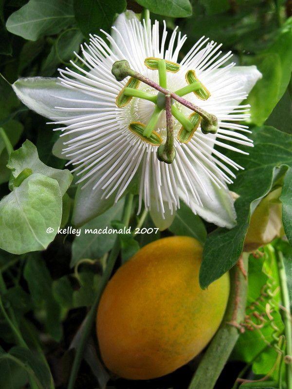 Passion Flower Quasar Passiflora Tropical Flower Plants Fruit Flowers Strange Flowers
