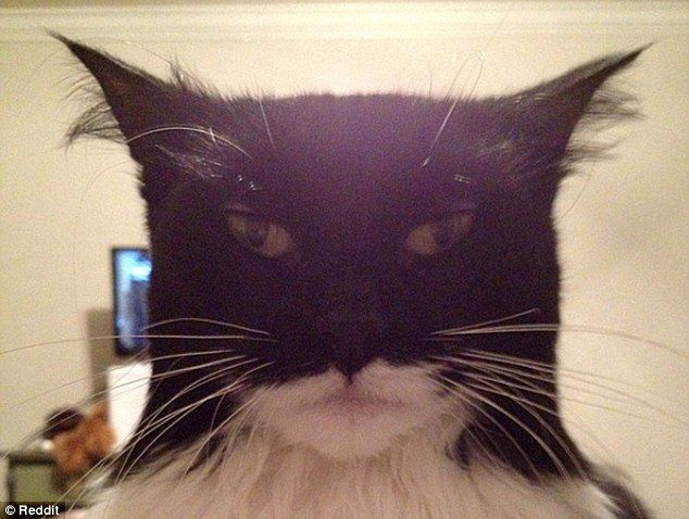 Catman Reddit User Hamsternose Has Posted A Picture Of A Cat Which Bears A Striking Resemblance To Batman This Image Of The Cute Yet Inti Batman Cat Cats Cats Kittens