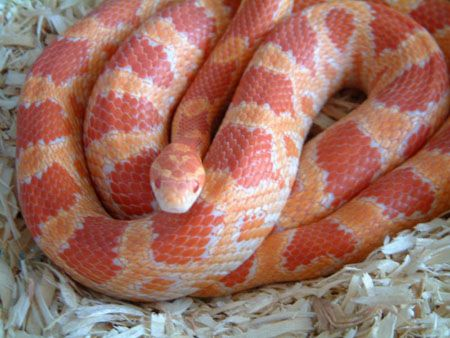 Amelanistic corn snake  Peppermint is our oldest snake and