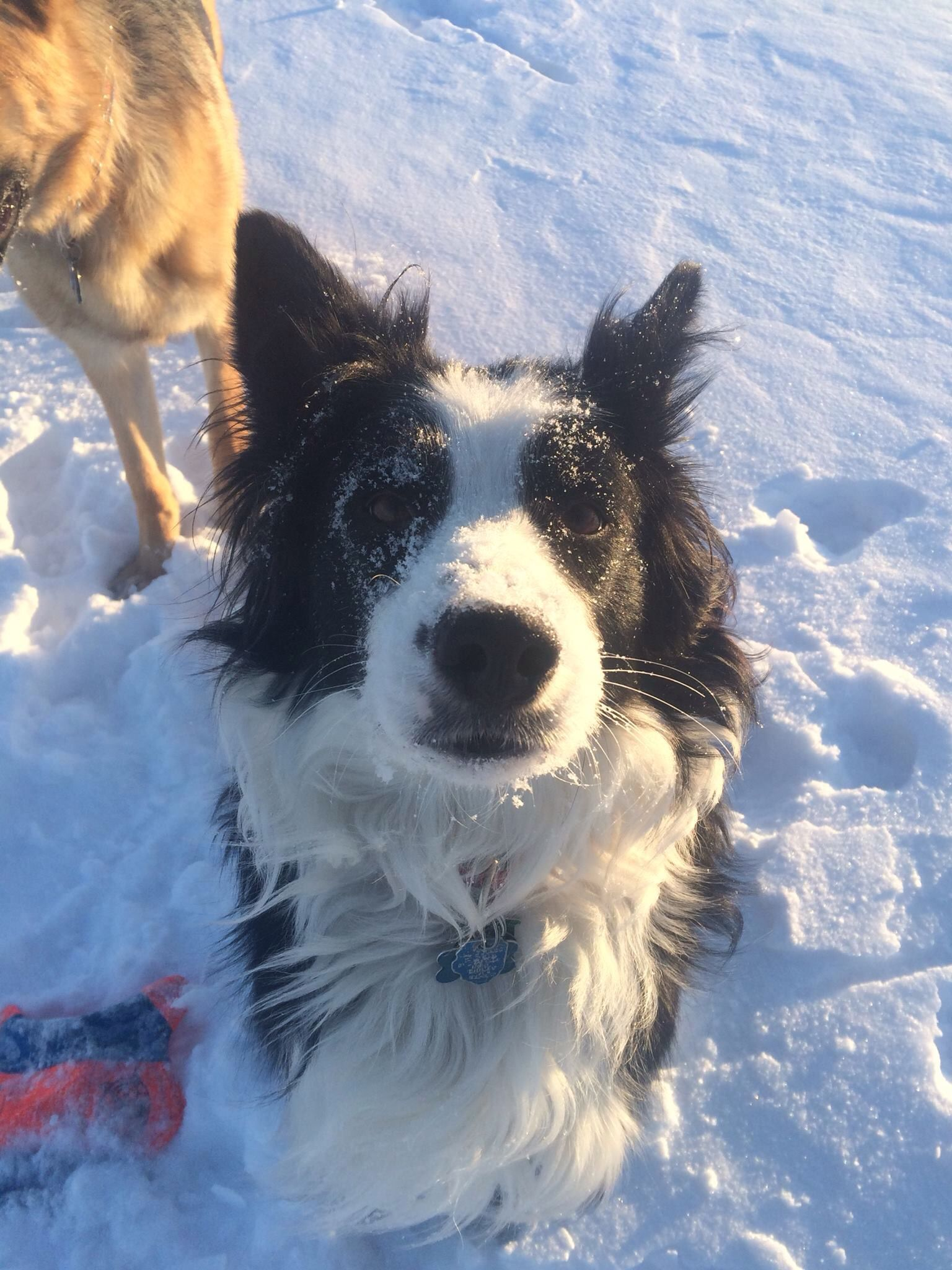 Snow dog (With images) Border collie, Best dogs, Dogs