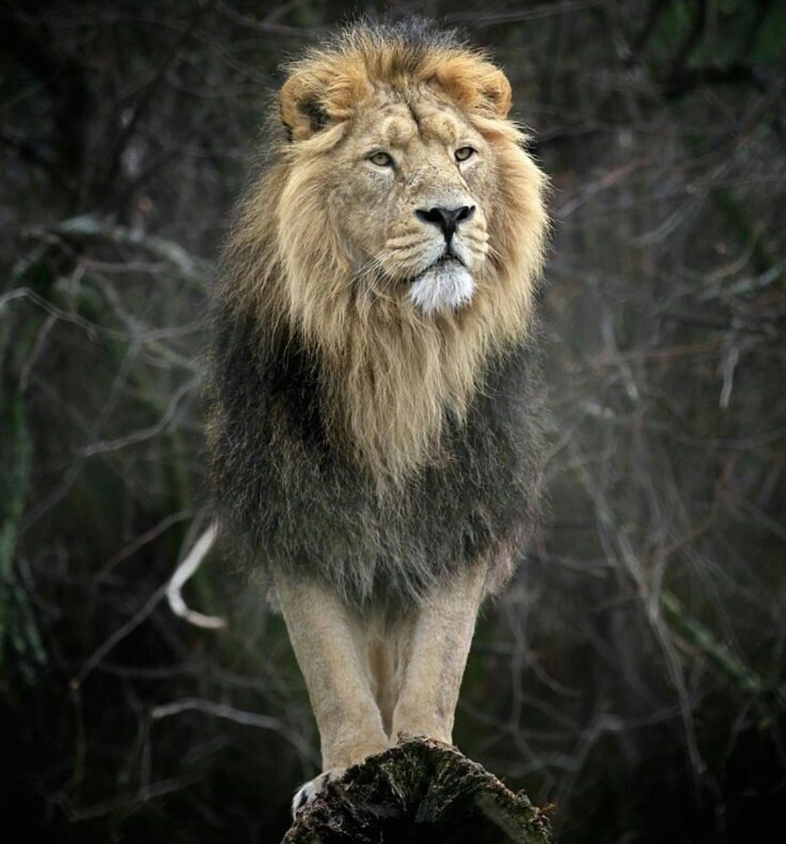 Pin by cindi darling on king of the beasts pinterest lions