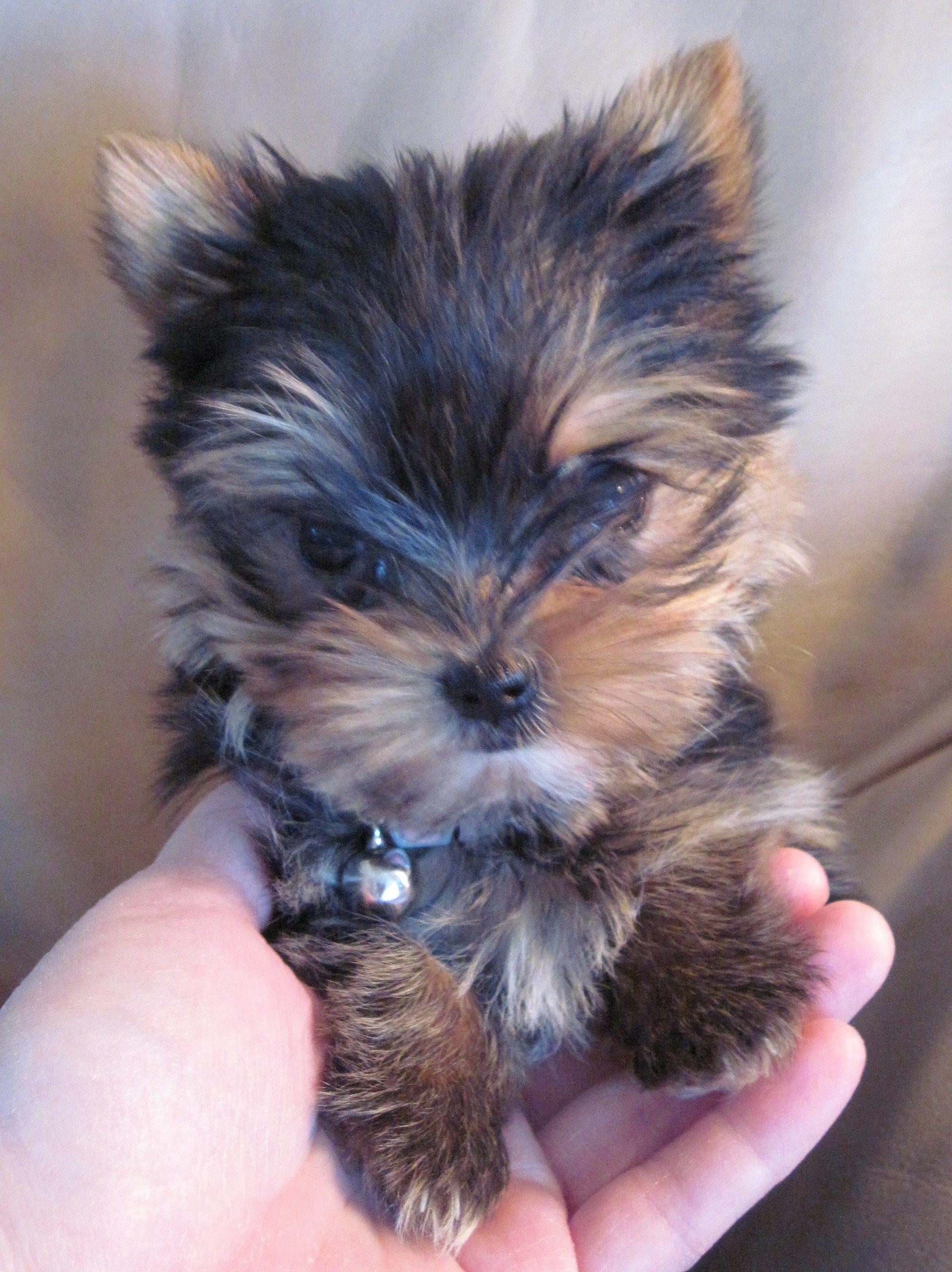 Omg So Adorable Looks Like A Stuffy Yorkshire Terrier Dog Yorkie Puppy Yorkshire Terrier Puppies