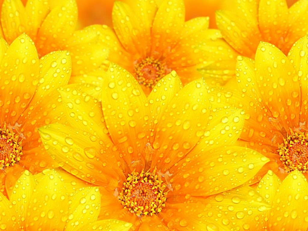 Beautiful Flower Wallpapers For Your Desktop 1024 768 Yellow 46