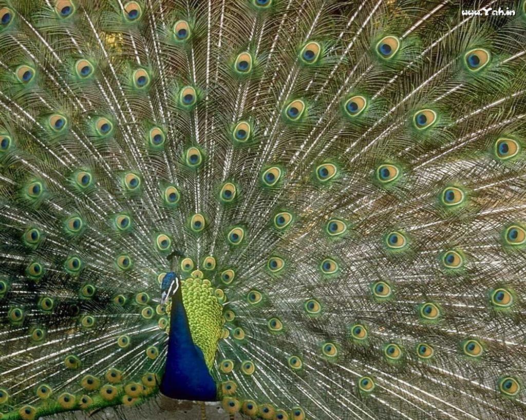 green peacock Google Search Male peacock, Peacock