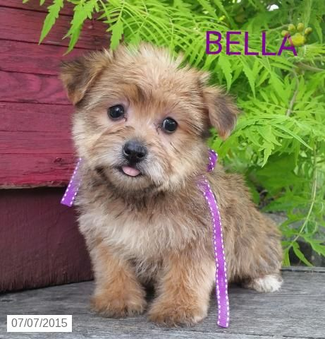Morkie Puppy For Sale In Ohio Buckeyepupppies With Images Morkie Puppies Morkie Puppies For Sale Puppies