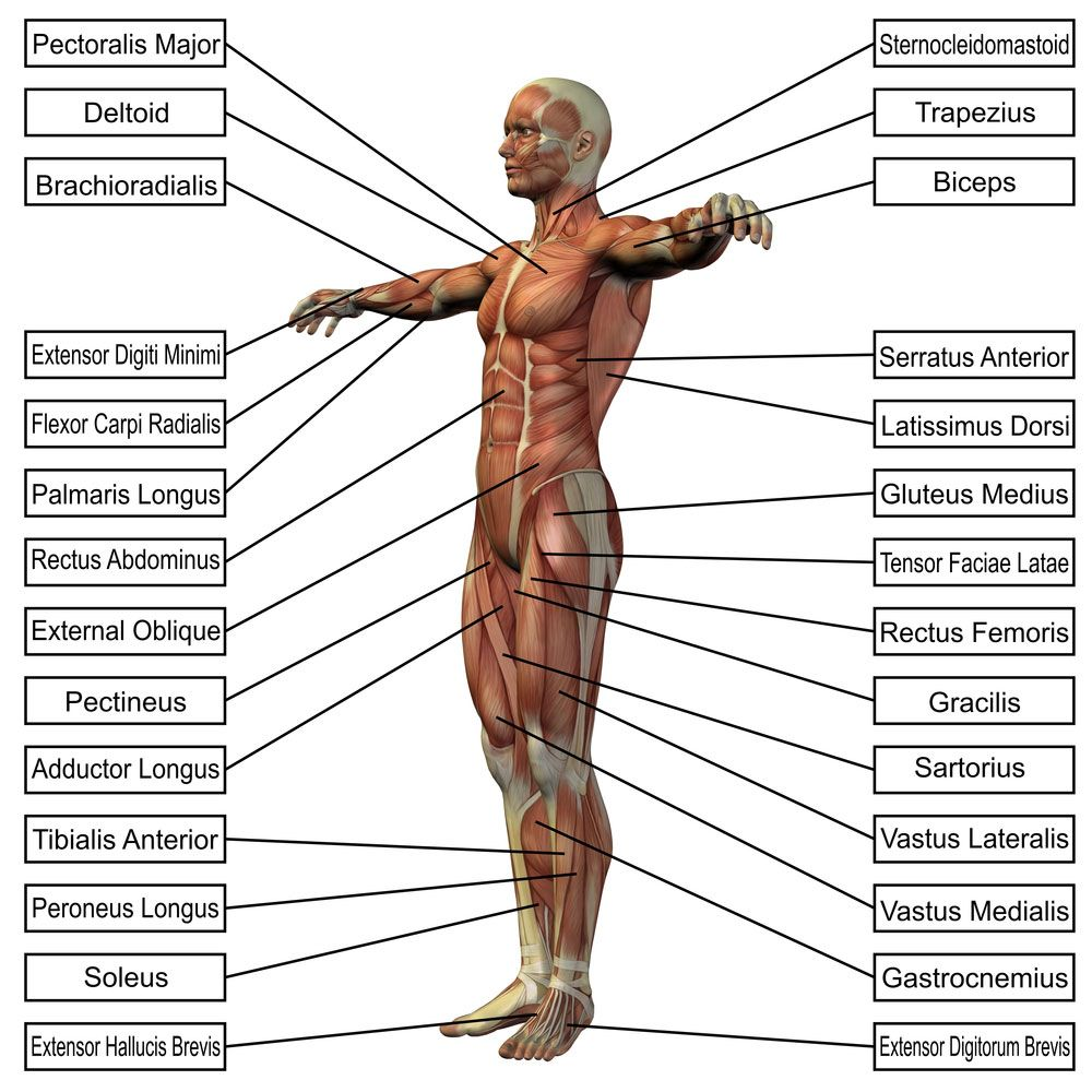 muscular system pictures for kids - health, medicine and anatomy, Muscles