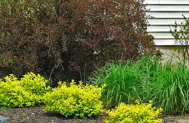 Pin By Bethany Werner On Perennial Garden Companion Planting Summer Wines Ninebark Shrub