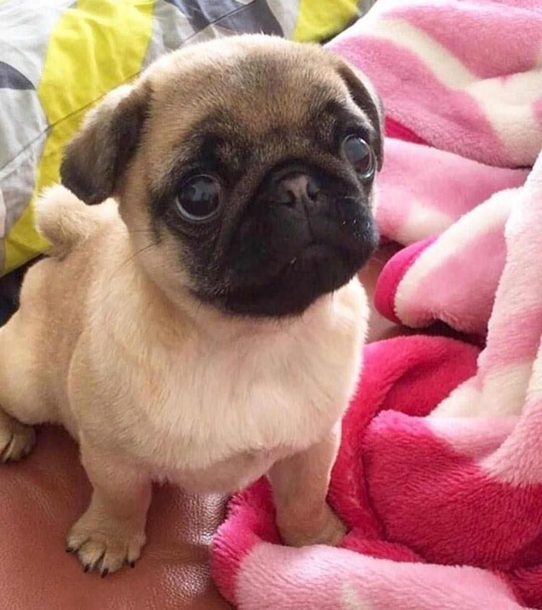 Pin by amanda hardy on peggy sue the pug pinterest baby dog thecheapjerseys Gallery