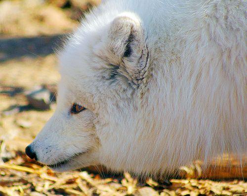 Arctic Fox!