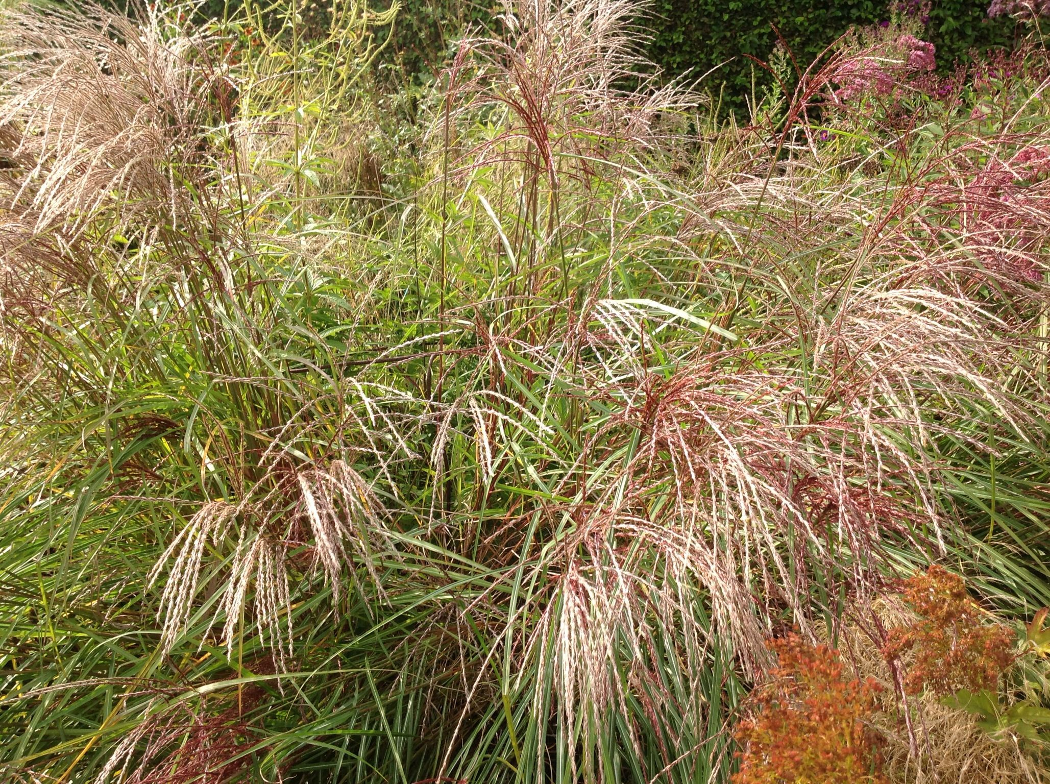 Miscanthus. Piet Oudolf, Hummelo Photo by Nicola Berry, Time and Space Garden and Planting design