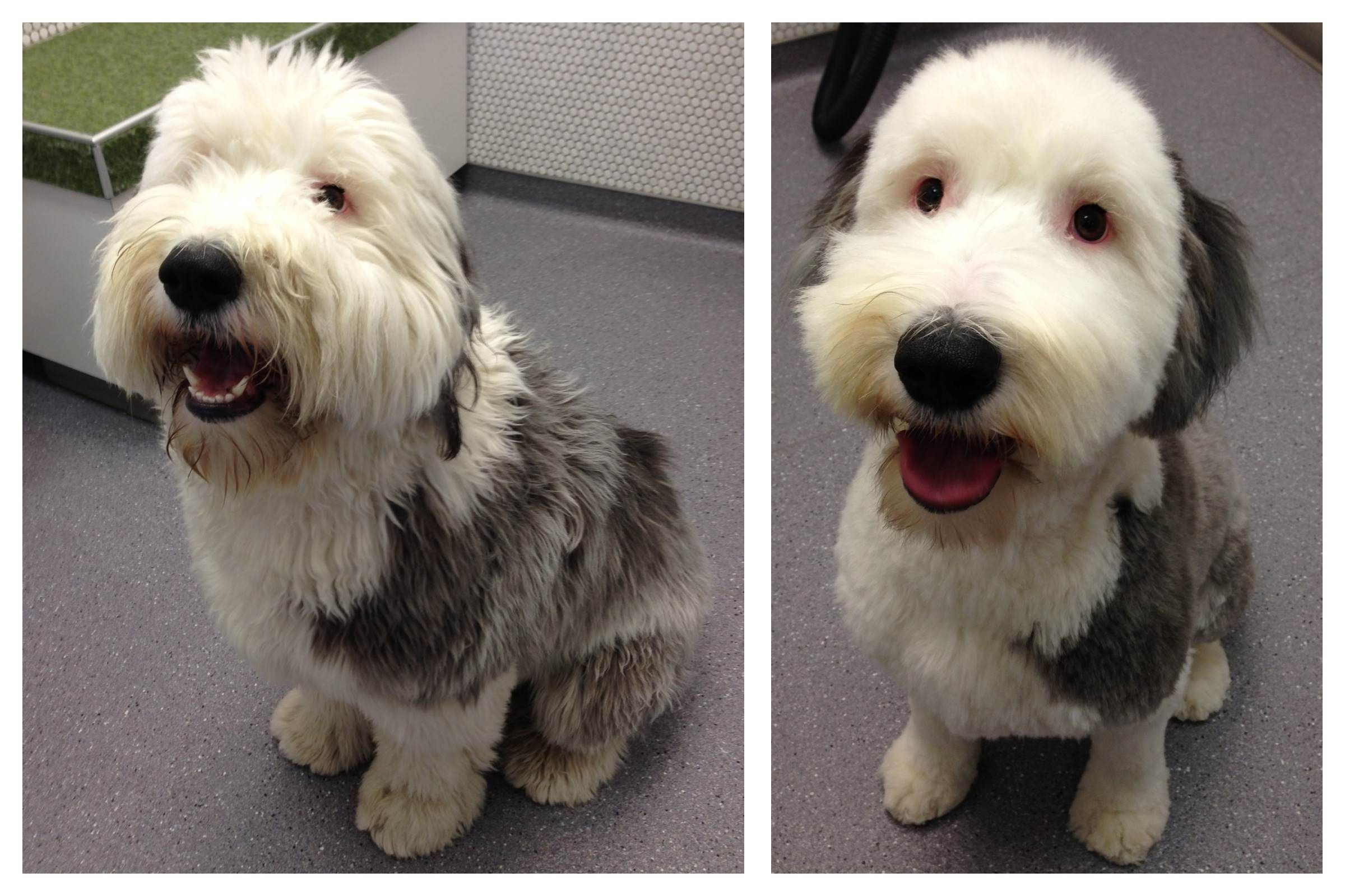 Shaved Wheaten Terrier How Long Until Hair Grows Back Google Search Wheaten Terrier Grow Hair Terrier