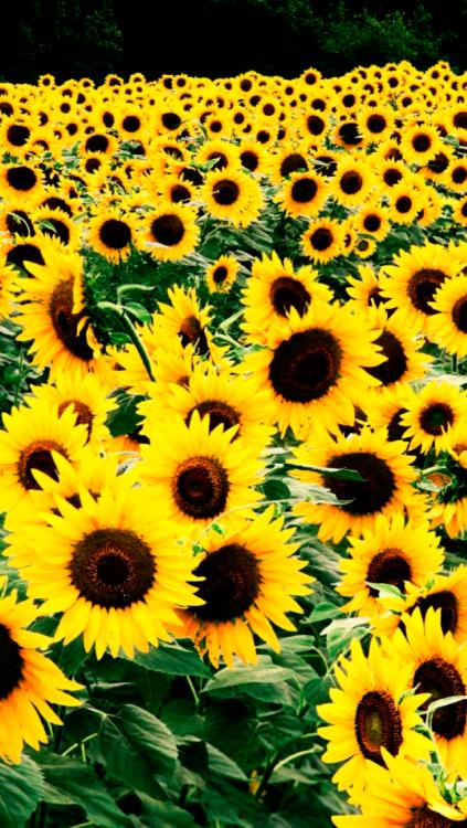 tumblr sunflowers sunflower wallpaper Tumblr iPhone