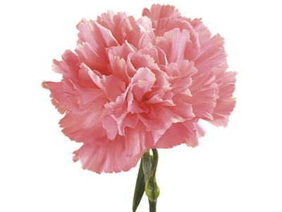 Symbolic Meaning Of Carnation Carnation Flower Flower Seeds Pink Carnations