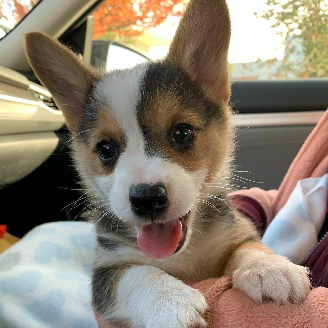 Ethany puppy breeds, Cardigan welsh