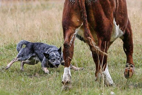 Dot Sliding Into Action Aussie Cattle Dog Austrailian Cattle