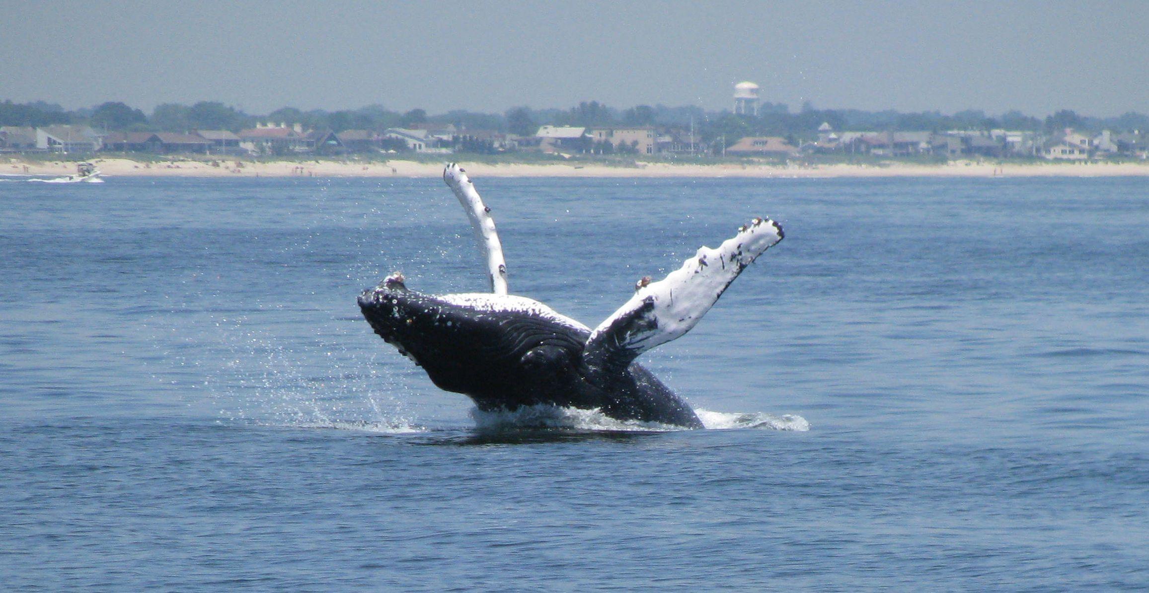 humpback whale off bay head nj jersey shore nj pinterest