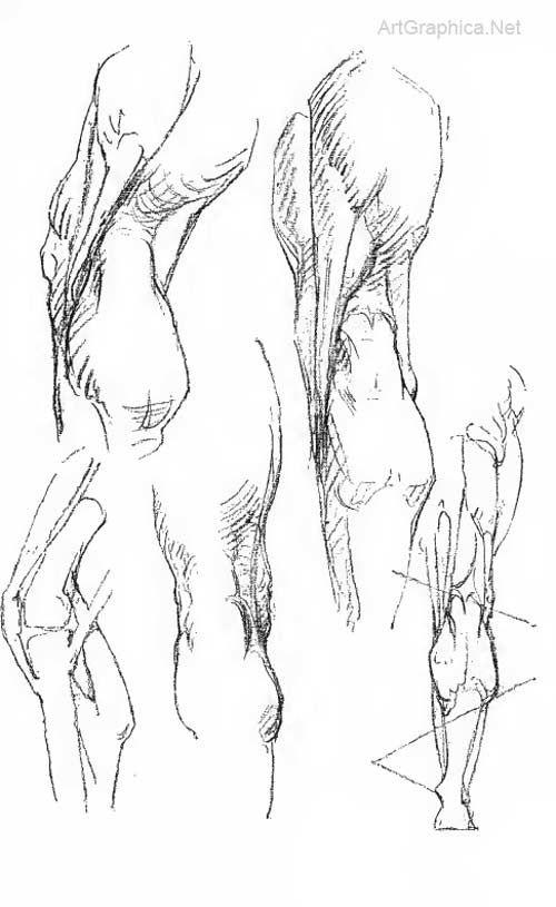 drawing back of leg, bridgman constructive anatomy, art book ...