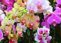 Jenis Anggrek Tercantik Anggrek Bulan Anggrek Bunga Tanaman