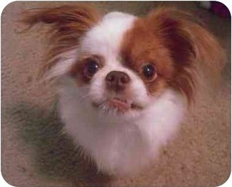 Japanese Chin Chihuahua Mix Looks Just Like Gizmo The Gremlin