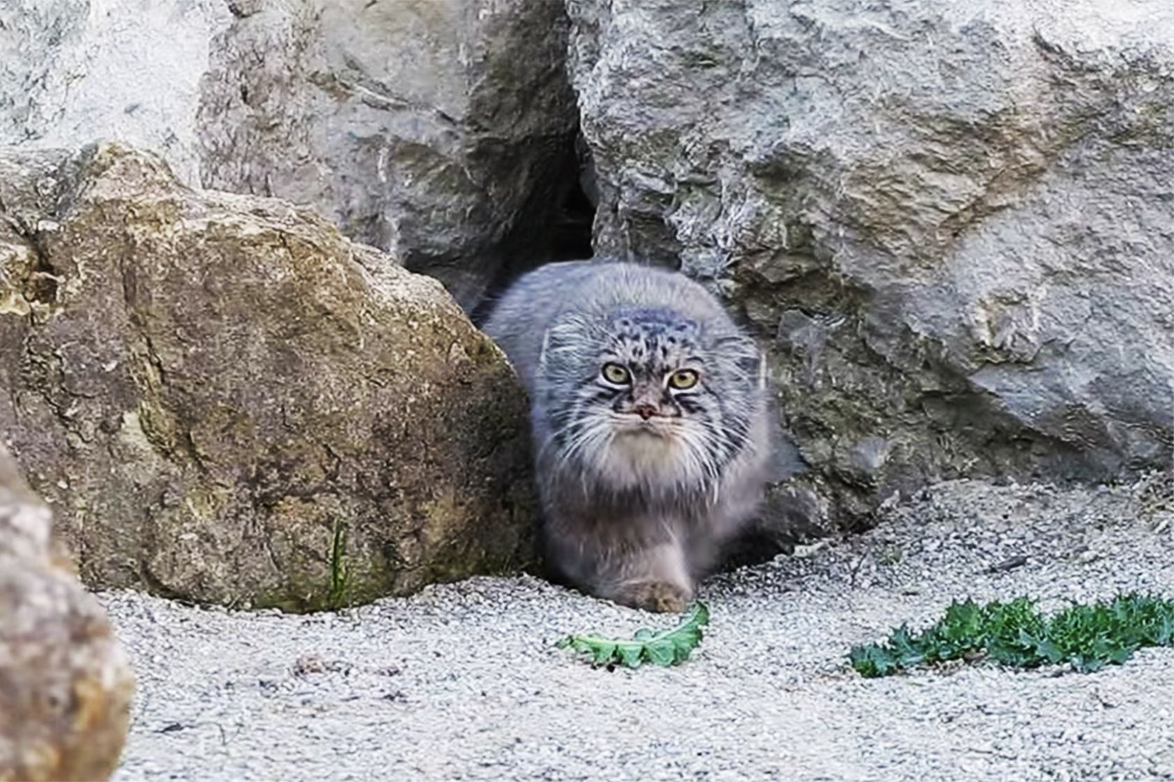 Hello gorgeous!!! Pallas cat discovers remote camera outside den | Local News  - KSBW Home