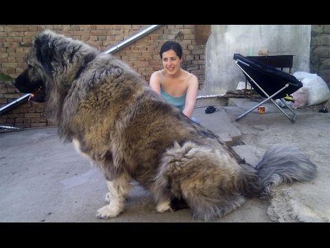 Giant Caucasian Shepherd Dog 200lbs - TDS - YouTube