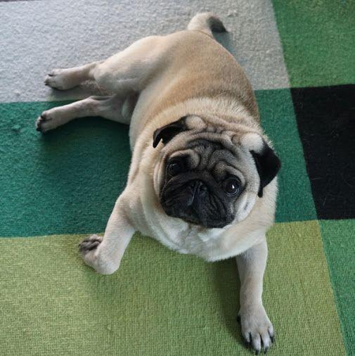 Stay In Dubai Free Via Petsitting This Adorable Pug See Details