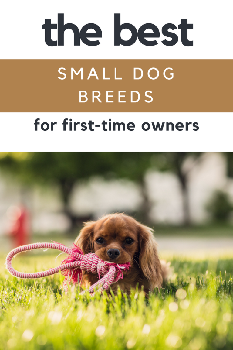 10 Best Small Dog Breeds For First Time Dog Owners The Pet