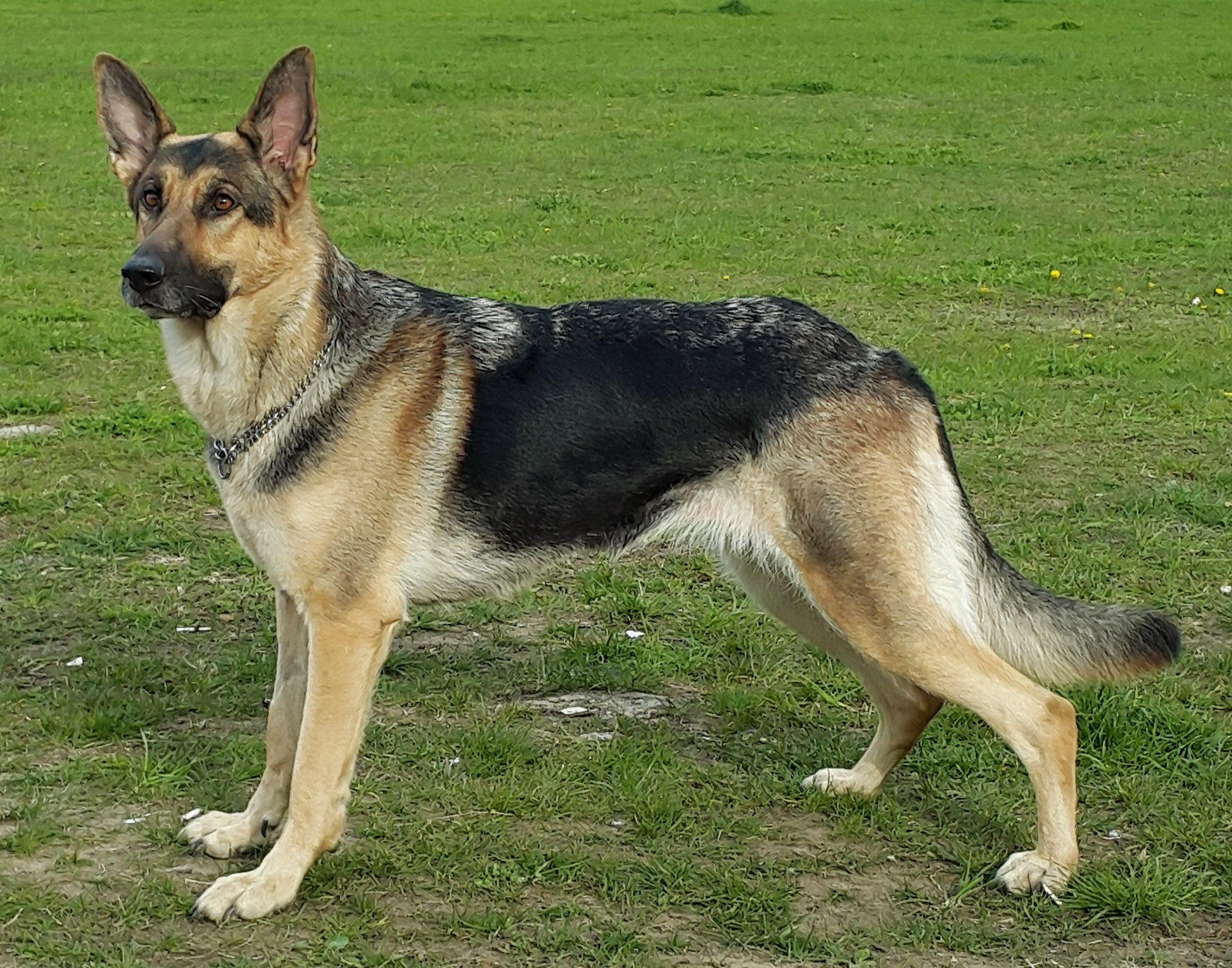 Best Puppy Toys For German Shepherd Dog Dog German Puppy