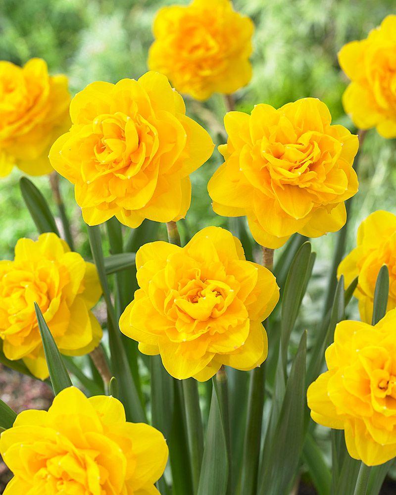 Kerrattu Narsissi Heamoor Narcissus Kerrannaiset Spring Flowering Bulbs Daffodil Flower Narcissus