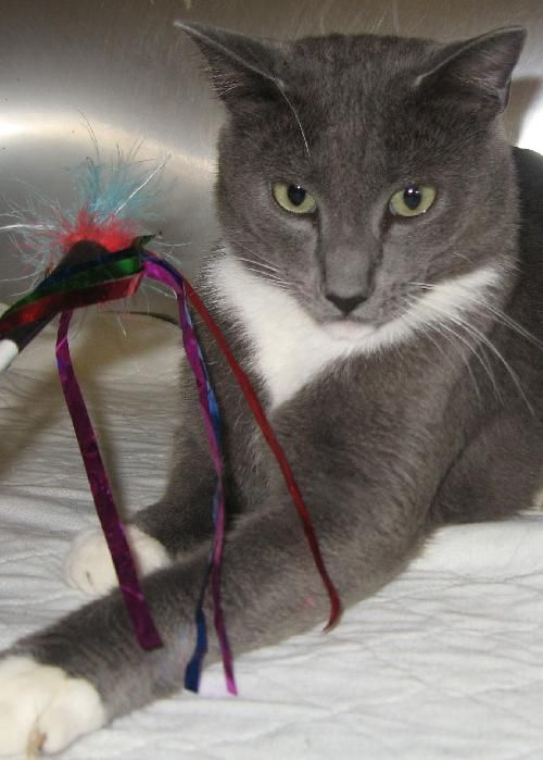 Adopt Me At Petsmart Chapel Hill Today Meet Argus A Super Friendly 4 Year Old Cat That Is Stirring Up The World Of Fashion He Ins Cats Cat Adoption Cat Paws