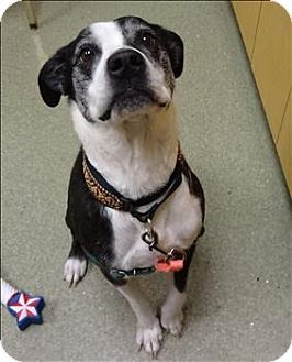 Meet Charlie A Boston Terrier Dog Mix For Adoption At Humane