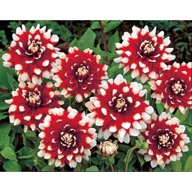 Garden State Bulb 2 Pack Duet Dahlia Lw02716 Dahlia Flowers Lowes Home Improvements